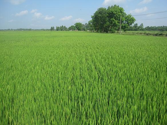 Kubota Hà Nội: Kỹ thuật chăm sóc lúa cấy mạ khay